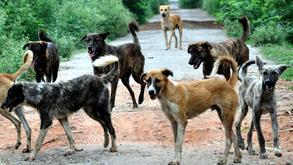 Stray dogs roaming around in packs is a common sight in Patiala.