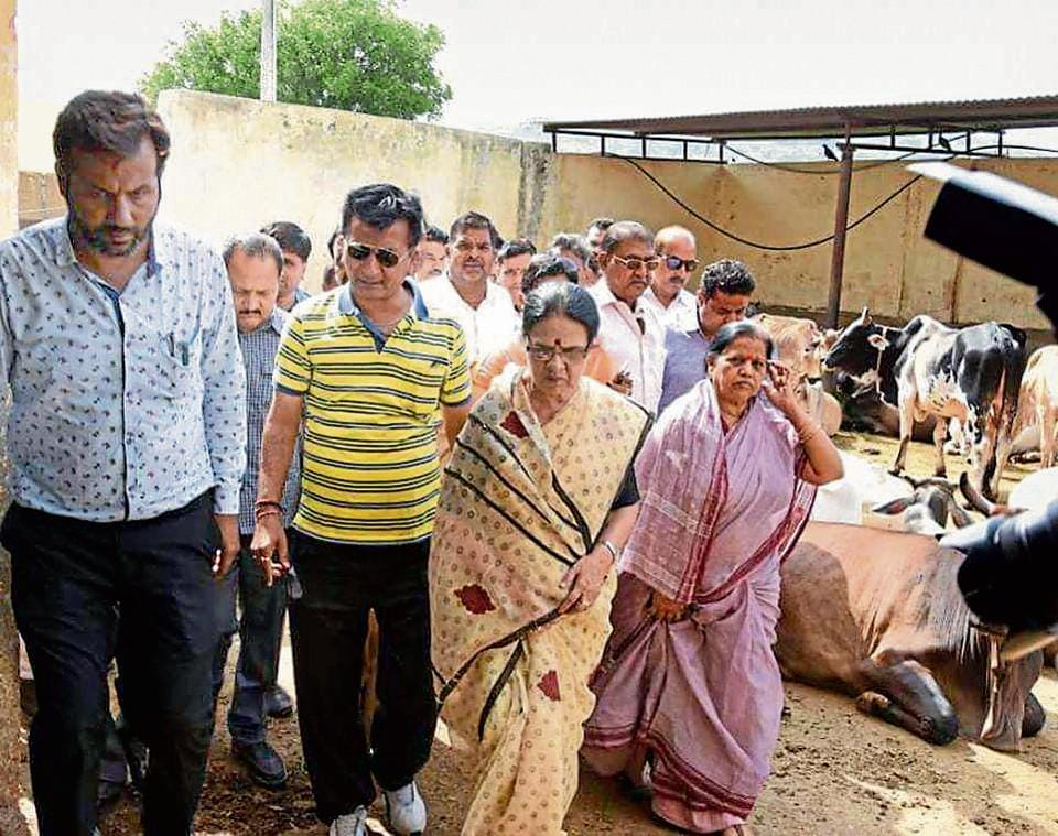 Congress leader Girija Vyas visits the government-run cow shelter in Udaipur.