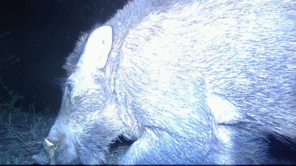A night-time camera trap image of a wild boar in the Siswan dam jungles.