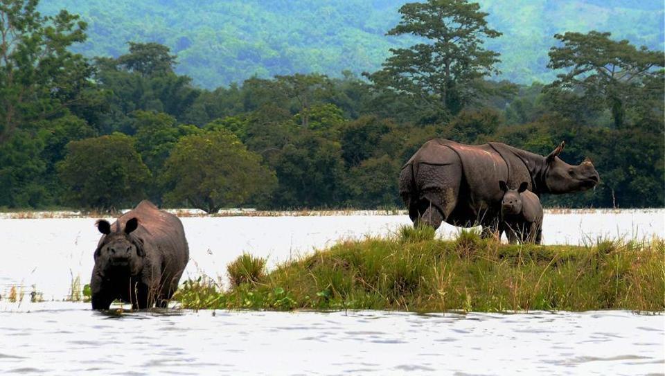 Rhinos with a calf at a highland during flood at Kaziranga National Park in Bagori range of Nagaon district.