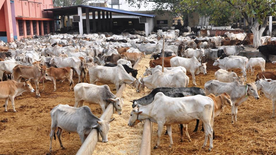 A file photo a cow shelter in Dhanbad, Jharkhand.