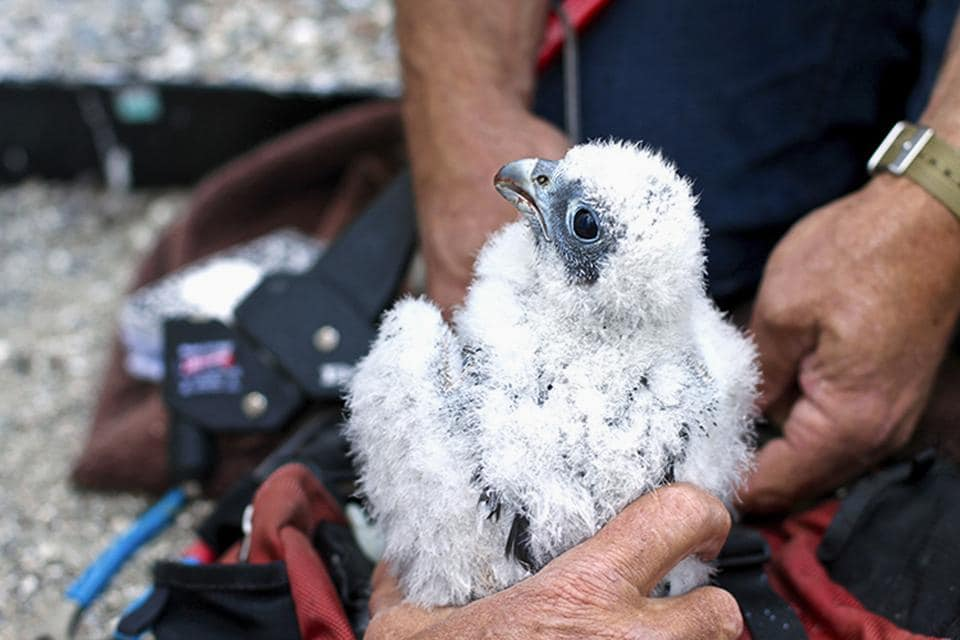Baby falcon named Lux, born on UC Berkeley campus, dies