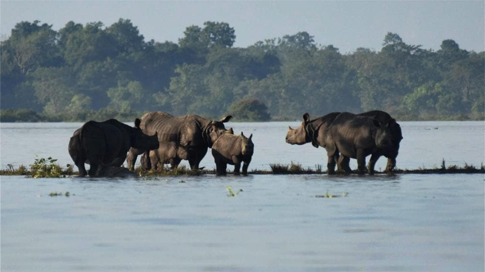Rhinos with a calf seen at a highland during flood at Kaziranga National Park in Bagori range of Nagaon district. With over 75 per cent of the Kaziranga National Park in Assam submerged by flood waters, park authorities have flown in drones to ensure security of animals in the park, particularly the park's famed one-horned rhinoceros. (PTI )