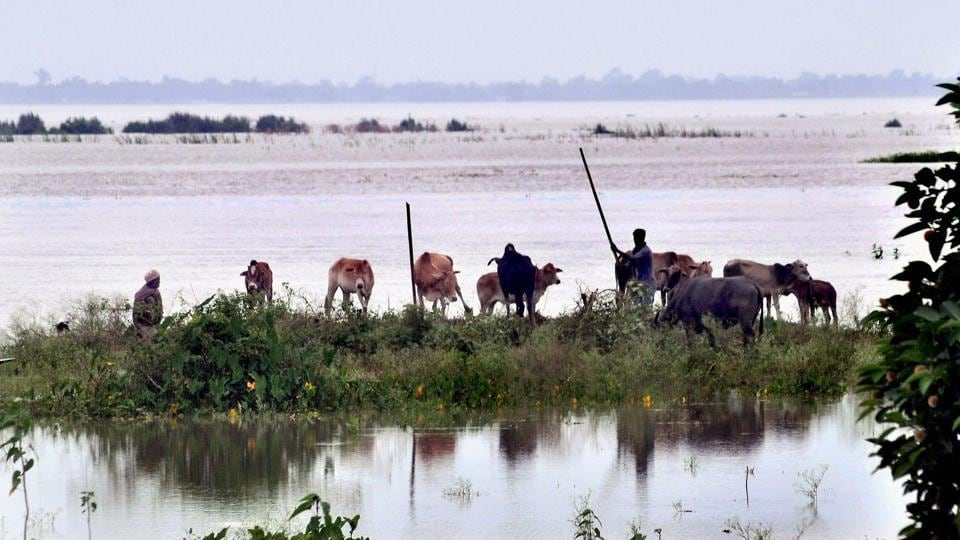 Cattle take shelter at a highland in flood-affected Kamrup district in Assam on July 12.