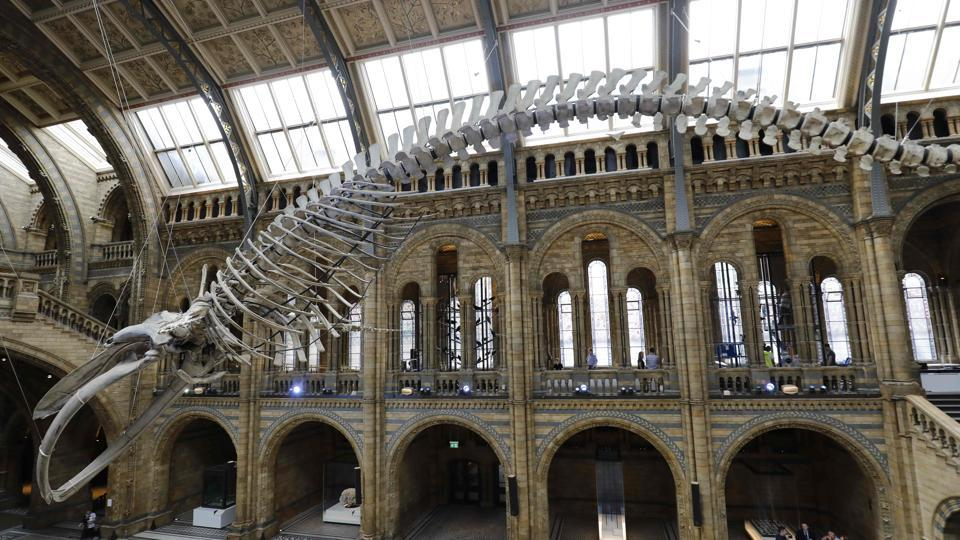 A 25.2 metre (83-foot) blue whale skeleton is pictured suspended from the ceiling after being unveiled at the Natural History Museum in London on July 13, 2017.