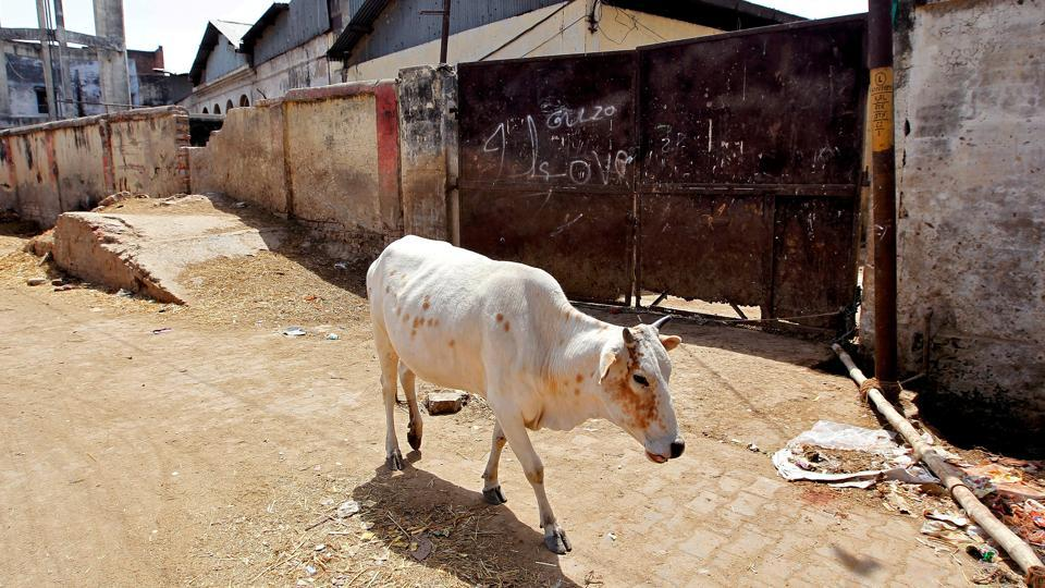 A cow walks past a closed slaughter house in Allahabad.