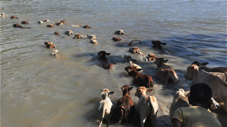 Cattle move through floodwater at Hiloikhunda village in Darrang district of Assam.