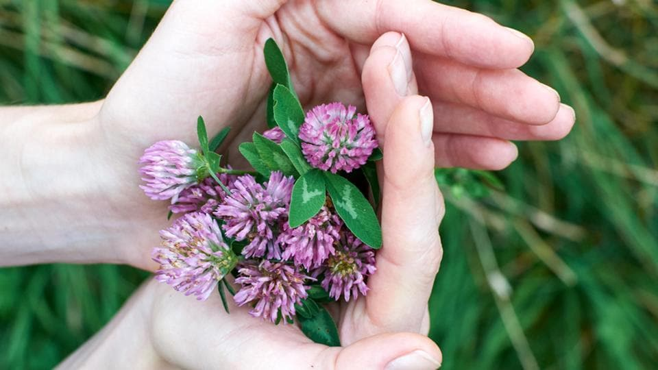 The study investigated fermented red clover extract as a healthier alternative to traditional estrogen therapy proscribed by doctors.