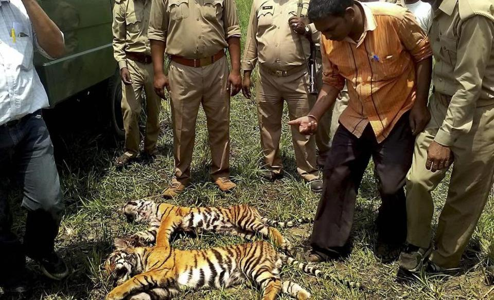 Forest officials recently found carcasses of two tiger cubs in Pilibhit Tiger Reserve  amid growing man- animal conflict in the area
