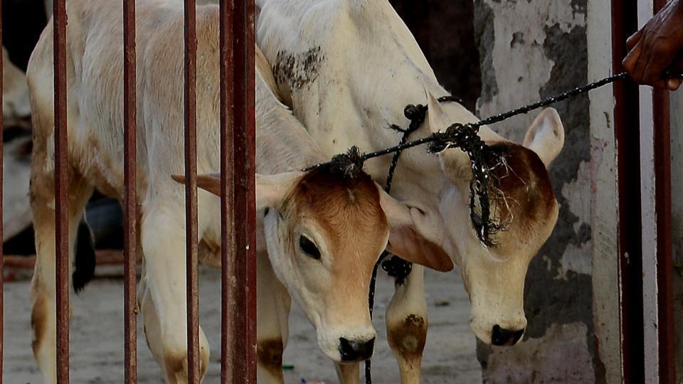 Greater Noida,Greater Noida news,cow