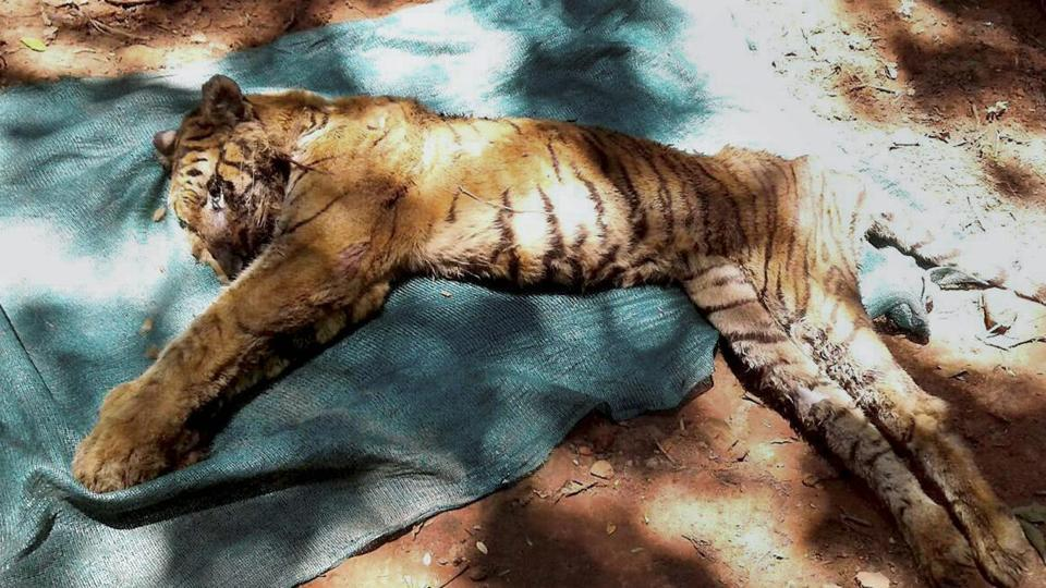 Oldest tigress,Lucknow zoo,ChattBir Zoo
