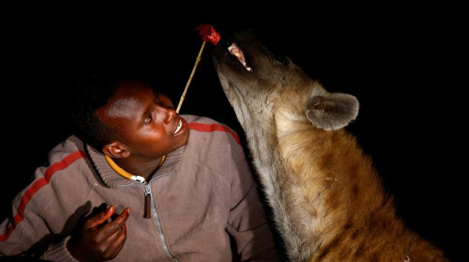Abbas Yusuf, 23, known as Hyena Man, feeds a hyena on the outskirts of the walled city of Harar, Ethiopia. He took over the responsibility of feeding the hyenas surrounding the outskirts of the city from his father who was the original 'Hyena Man'.