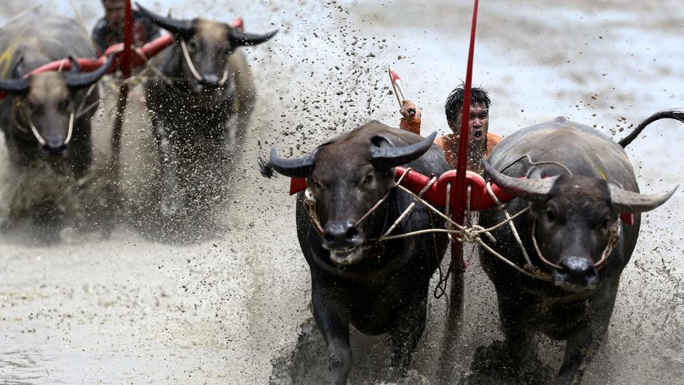 Jockeys compete in Chonburi's annual buffalo race festival, in Chonburi province, Thailand. The race is the highlight of an annual rice planting festival in Chonburi, two hours east of the capital Bangkok, where a small group of local farmers try to keep the tradition alive even if most of their fields are now ploughed by tractor. (Athit Perawongmetha  / REUTERS )