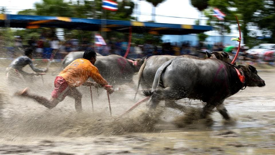 Now racing buffaloes are specifically bred for the sport, taught to obey the commands and whistles of their owners. The most successful can sell for up to 300,000 baht ($8,800). (Athit Perawongmetha / REUTERS)