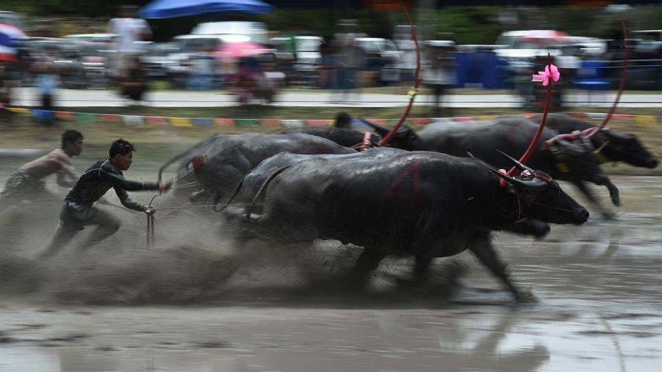 Throughout the day pairs of buffaloes attached to a wooden plough thundered down a flooded field as human drivers attached by a rope desperately tried to keep up behind their charging beasts. (LILLIAN SUWANRUMPHA / AFP)