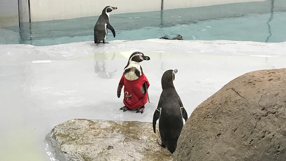 The penguins are kept in a 1,550-sqft soundproof public exhibit at Byculla zoo. (ht photo)