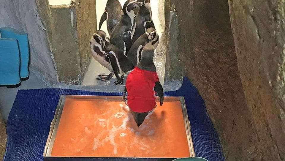 Mr. Molt is the youngest of the seven penguins in the Byculla zoo. The penguins are the zoo's star attraction and have helped bring in more people, and revenue, to the zoo, (ht photo)