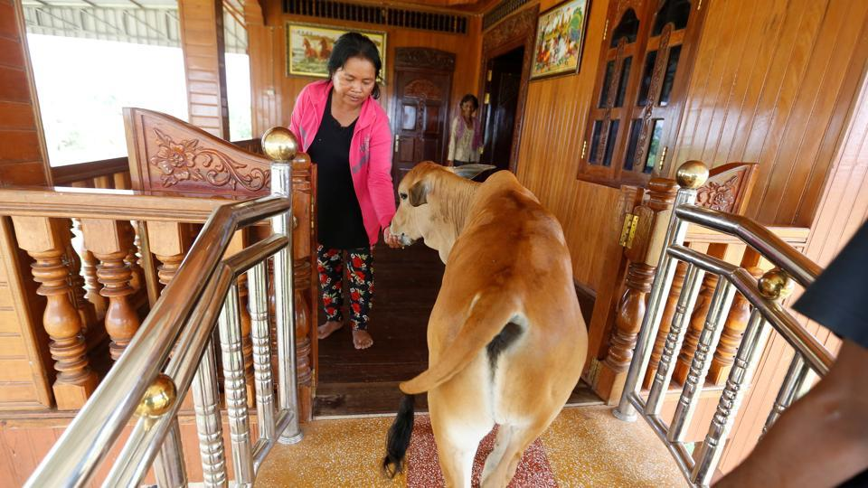 Calf walks into a house believed to reborn. (Samrang Pring / Reuters )