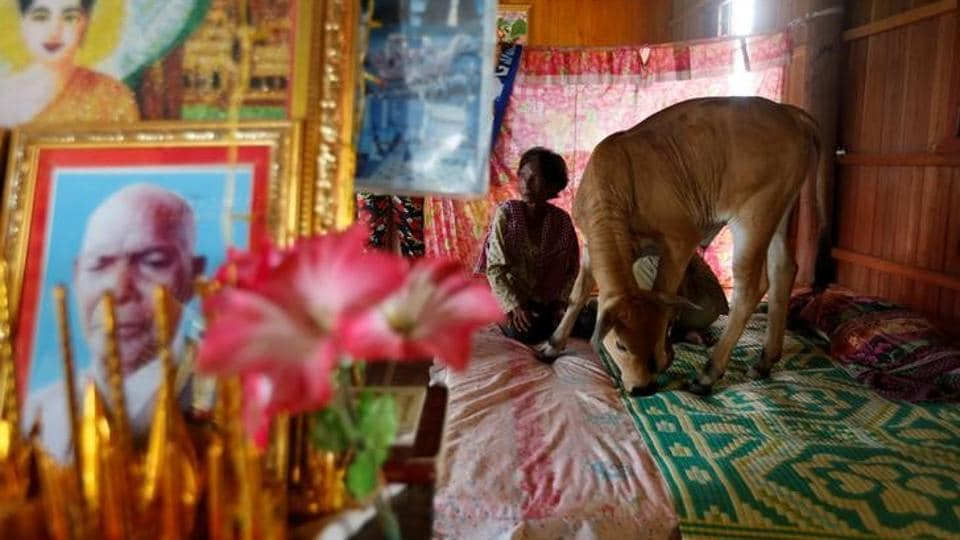 A  five–month–old calf has become a social media sensation after convincing a Cambodian villager that he was the reincarnation of her dead husband. 'I believe that the calf is my husband because whatever he does…is in exactly the same way as my husband did when he was alive,' say Khim Hang, 74. The young cow was born in March and has become a local celebrity thanks to the claims. (Samrang Pring / Reuters )