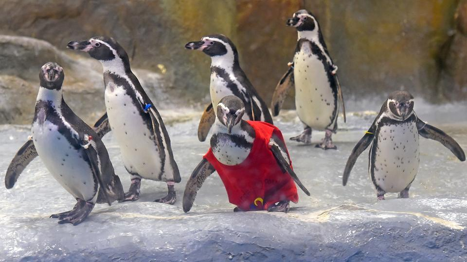 The penguin in the bright red hand-painted T-shirt is Mr. Molt. (Pratik Chorge/HT Photo)