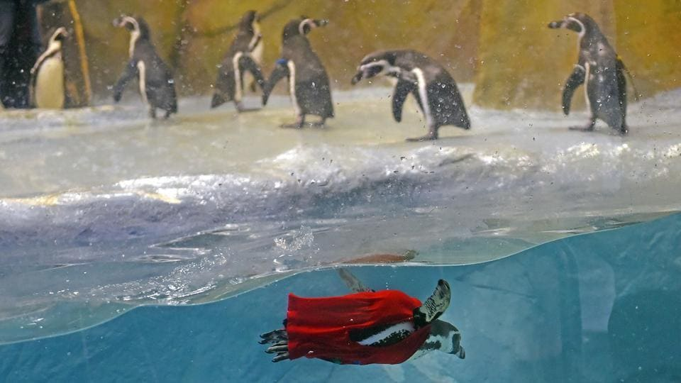 The penguins, Bubble, Mr Molt, Flipper, Donald, Daisy, Popeye and Olive, are aged 2-3  years and were named after famous Disney characters, based on their behaviour. (Pratik Chorge/HT Photo)