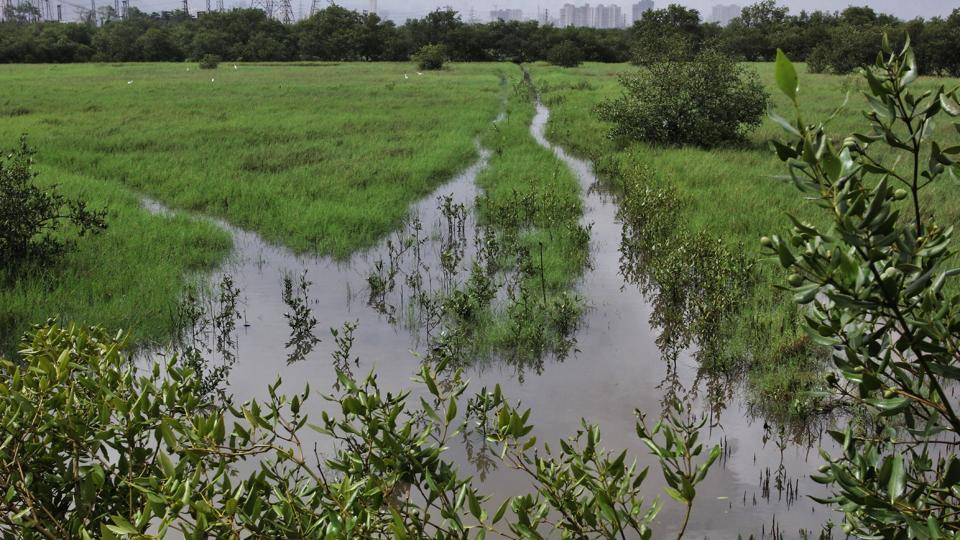 At Bhandup, the saplings were planted on a 20-hectare degraded mangrove patch
