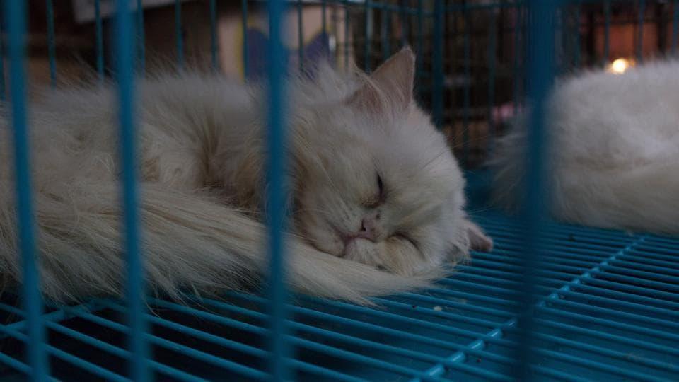 Japan,Cat,SFTS