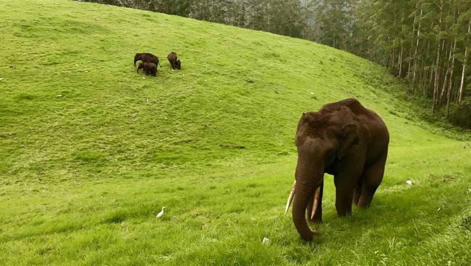 In this file photo, the wild tusker, affectionately called Chillikkompan, enjoys with his herd in Munnar forests.