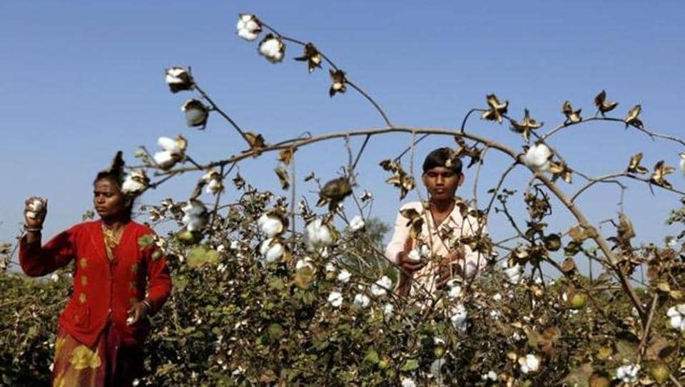 Cotton farmers,Punjab cotton belt,whitefly attack