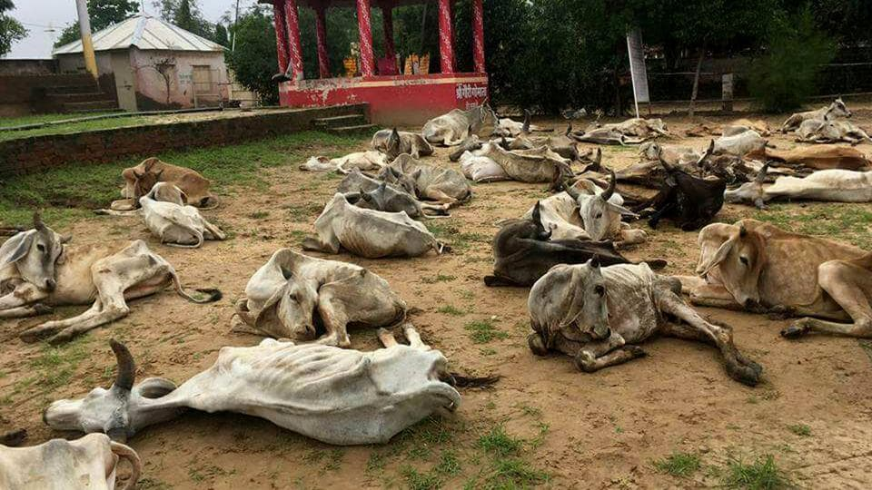 Some of the cows at the shelter in Rajasthan's Jalore. (HTPhoto)