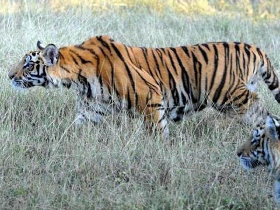 International Tiger Day,World Tiger Day,poaching
