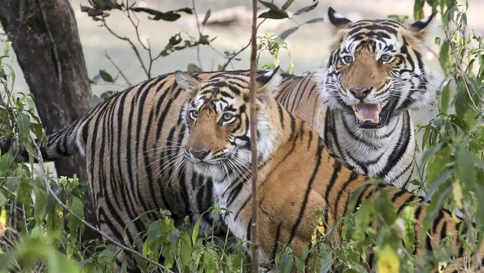 There are many days every year meant to recognize various causes—from Earth Day to the upcoming World Animal Day. But International Tiger Day marked on July 29 is one worth observing, as only a few thousand tigers remain in the wild as a result of animal poaching and trafficking, according to a United Nations Environment Program (UNEP) report.  (Himanshu Vyas / HT Photo)