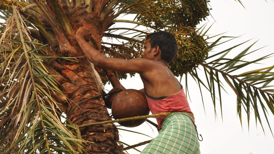 A man harvesting toddy from a date palm. (HTFile Photo / Representational)