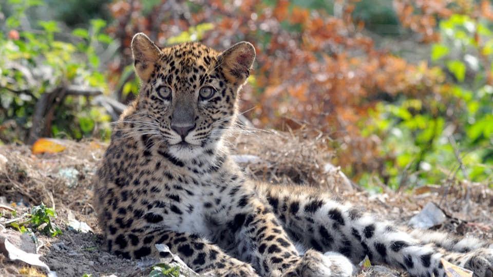 Uttarakhand news,wildlife,leopard