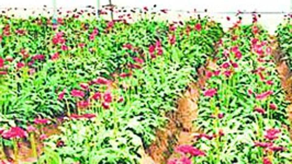 Gerbera plantation