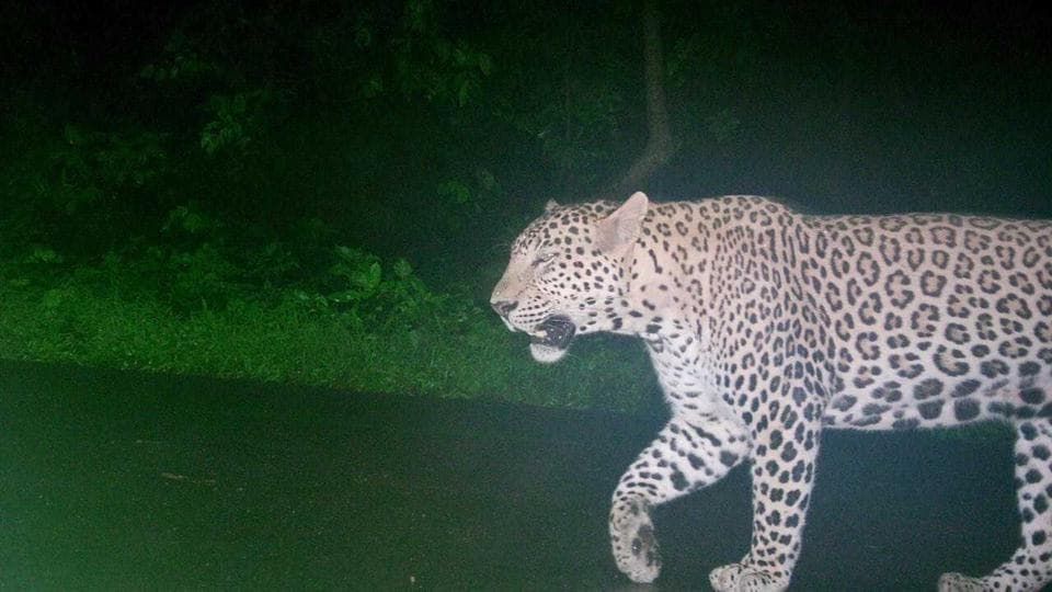 The leopard's picture, captured by a trap camera at Aarey.