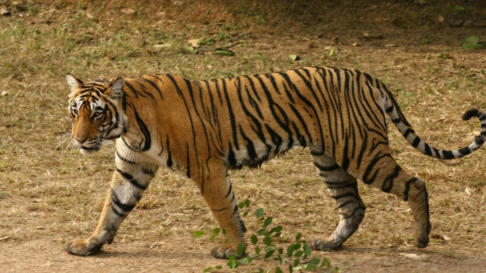 Tiger population are estimated in terms of range — an upper limit and a lower limit — and the best estimate.