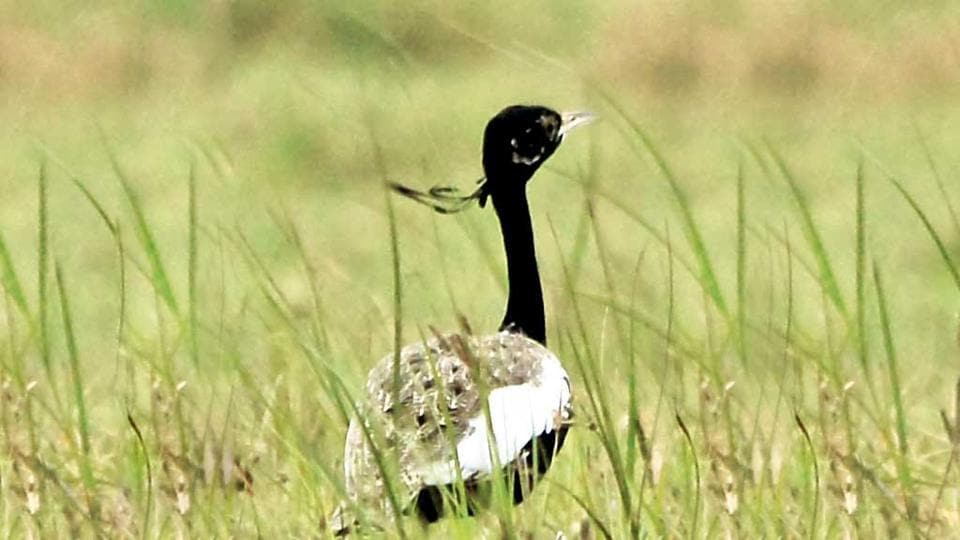 Endangered Lesser Florican. The project fell within the eco-sensitive zone (10 km) of the Sailana Bird Sanctuary, which has been set up for conservation of the Kharmor.
