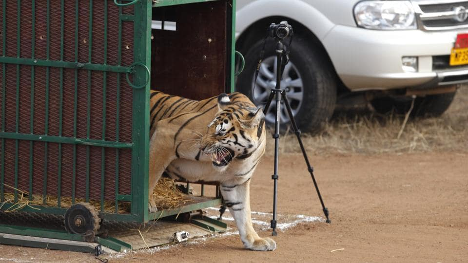 But on the other hand, tiger deaths have also steadily gone up in India in recent years. In 2015 National Tiger Conservation Authority (NTCA) and Ministry of Environment, Forest and Climate Change officials reported 80 tiger deaths, and 78 in the previous year.