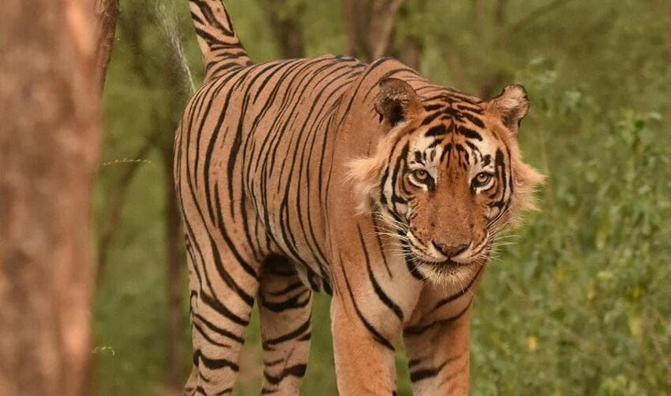The delay in selecting a male tiger has stalled the relocation of a big cat to the Sariska Tiger Reserve.