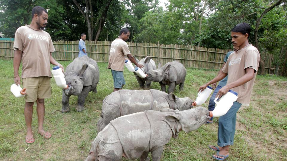 It's feeding time for rhino calves of Kaziranga rescued from floods in 2016. On Monday, they completed a year at the Centre for Wildlife Rehabilitation and Conservation, an animal orphanage near Kaziranga.