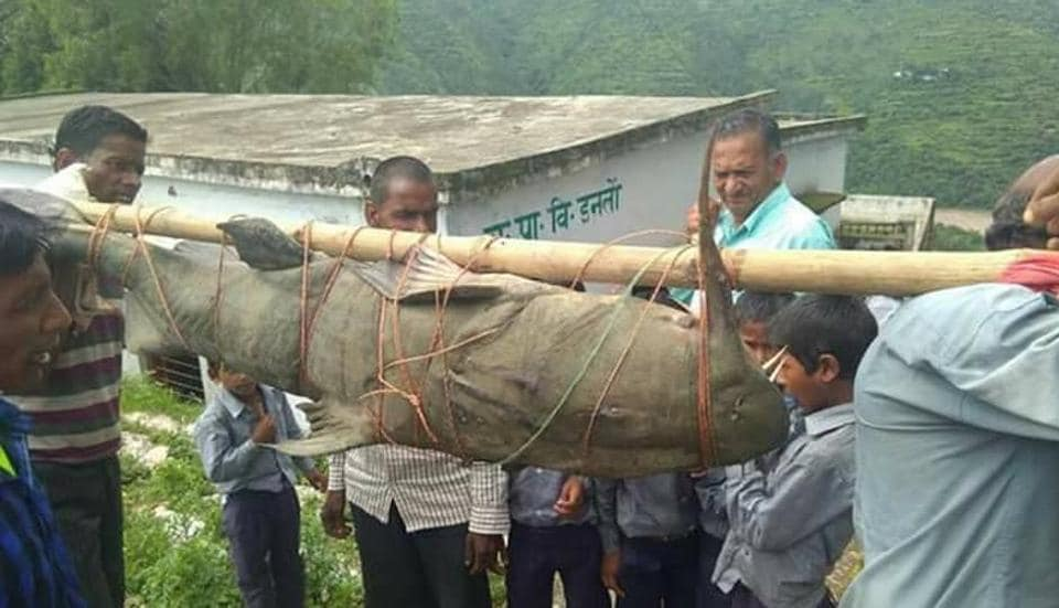 Villagers carry the Devil Catfish.