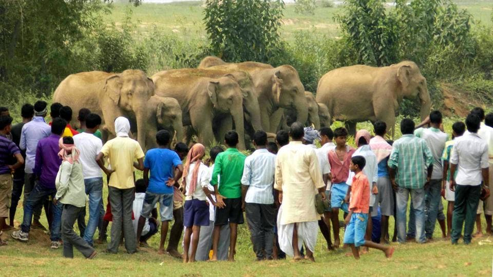 A herd of wild elephants surrounded by villagers near Ranchi. The government said one person has been killed every day for the past three years by roaming tigers or rampaging elephants. (HT File Photo)