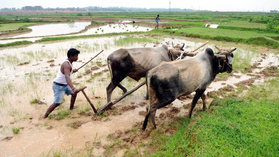 Farmers plough their field for paddy crop at Pundag village in Ranchi.