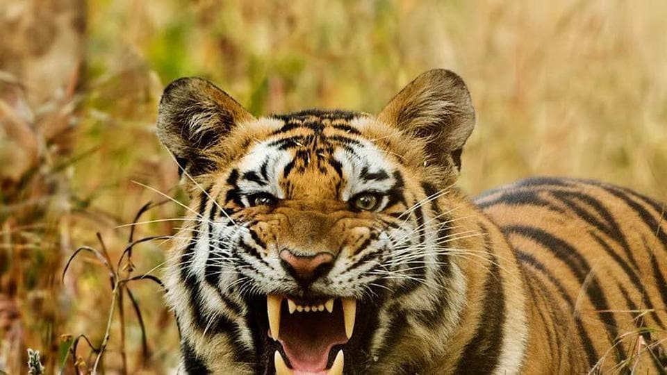 tiger conservation in india Illegal evictions, threats and abuse tribal peoples across india are being illegally evicted from their ancestral homelands in the name of tiger conservation.
