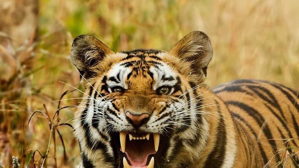 Uttarakhand,NTCA,tiger cell