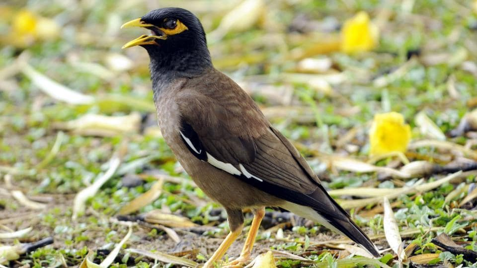 Common myna is  one of the common resident birds found in Punjabi University, Patiala  (Bharat Bhushan/HT)