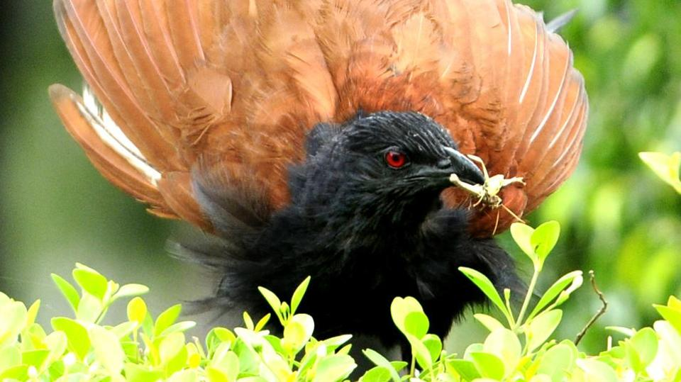 A greater coucal with an insect in its beak  found in Punjabi University, Patiala (Bharat Bhushan/HT)