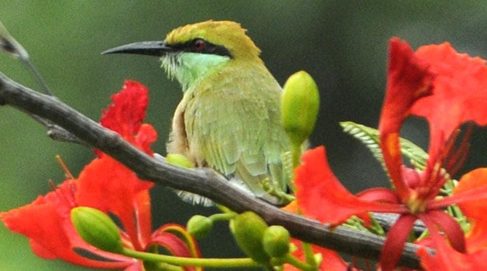 A green bee-eater sitting on a gulmohar tree at Punjabi University, Patiala. (Bharat Bhushan/HT)