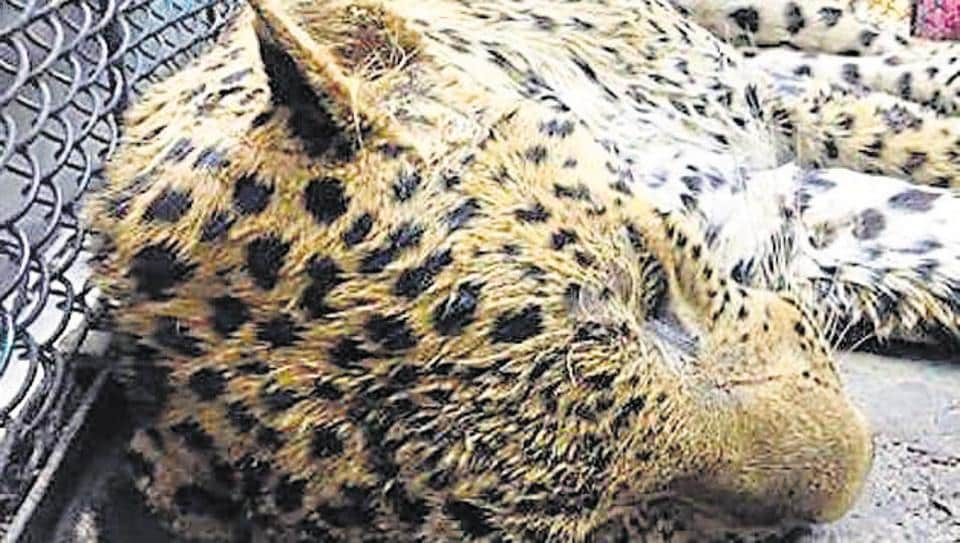Gurgaon-Manesar road,leopard crossing road,man-animal conflicts